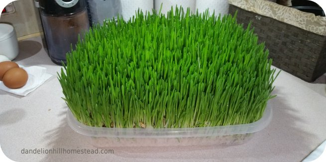 tray of barley fodder