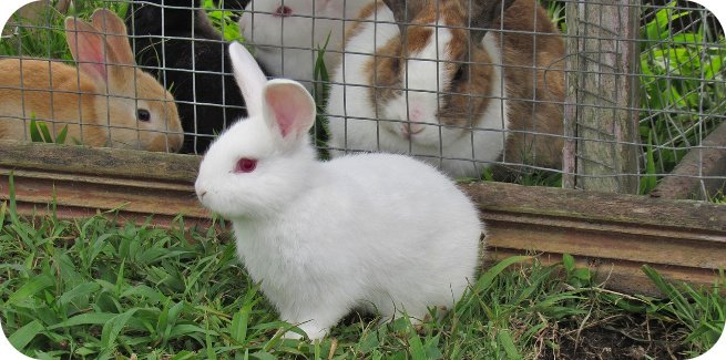 the best meat rabbit breed