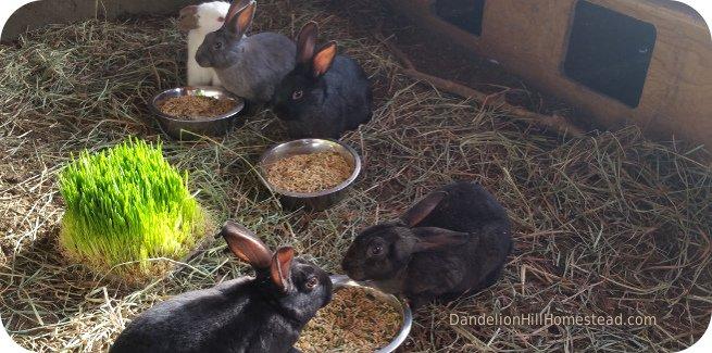 bunnies in the bunny barn