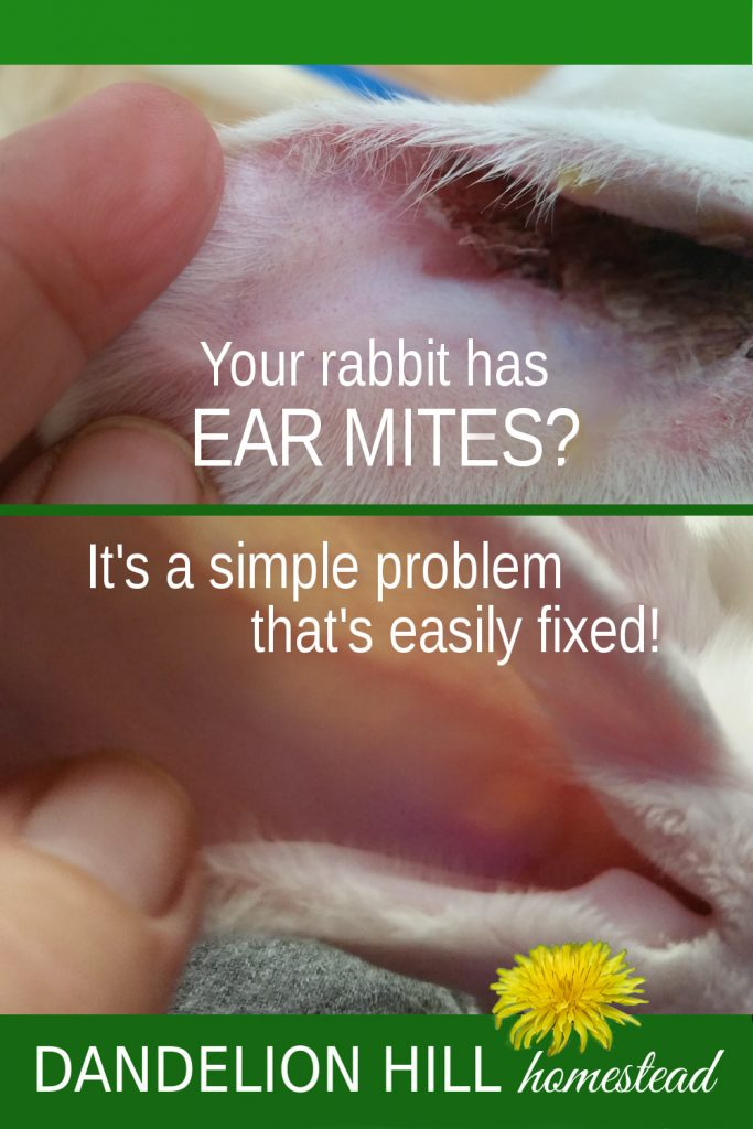 Pinterest image for ear mite article