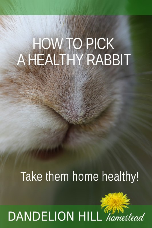 Pinterest picture for Healthy Rabbit article