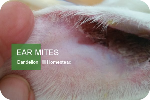 rabbit ear showing ear mites