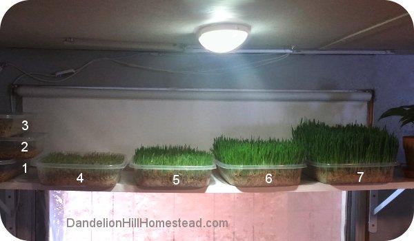 trays of fodder on a shelf