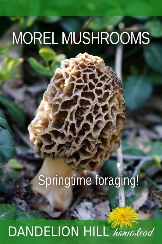 Pinterest image for Morel Mushroom article