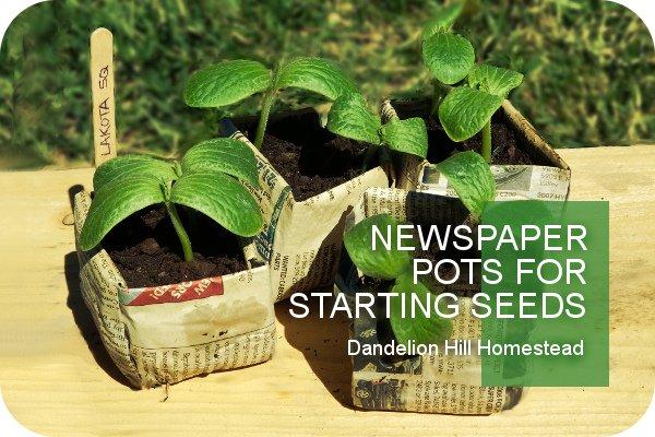 seedlings in a newspaper pots
