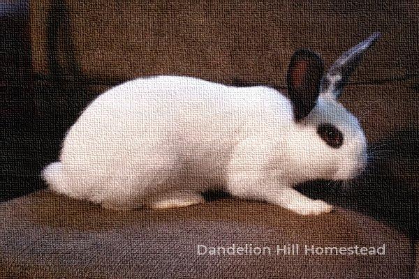 broken black rabbit
