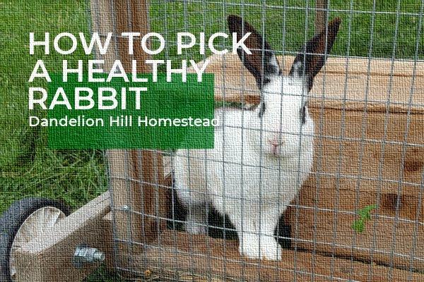 healthy rabbit